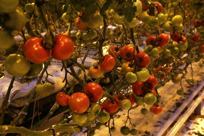 Pohjoisen kasvihuonetuen pienentäminen koskee mm. Närpiön tomaattituotantoa.