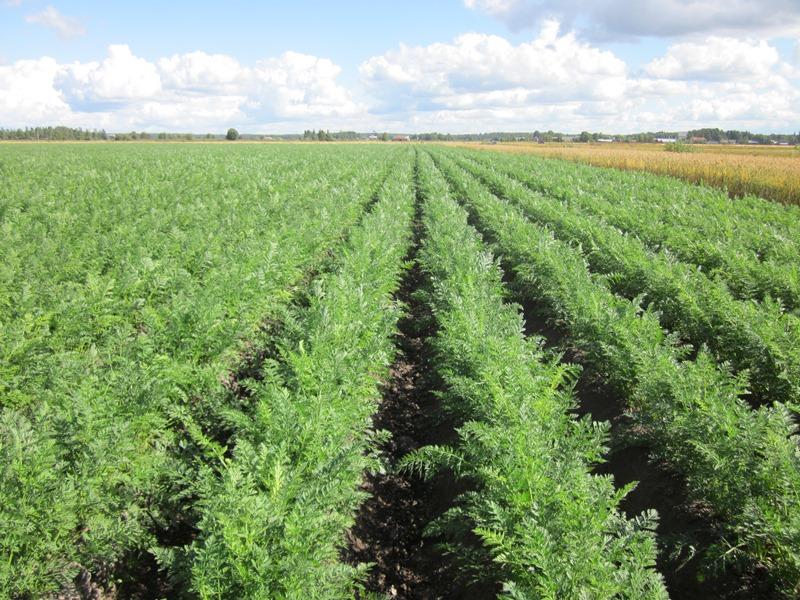 Porkkana on sadollisesti merkittävin vihannes, sen tuotantomäärä oli 74 000 tonnia.
