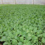 Varhaiskaalin taimien kehitys on huhtikuun alkupävinä jo pitkällä.Sulkavalla.