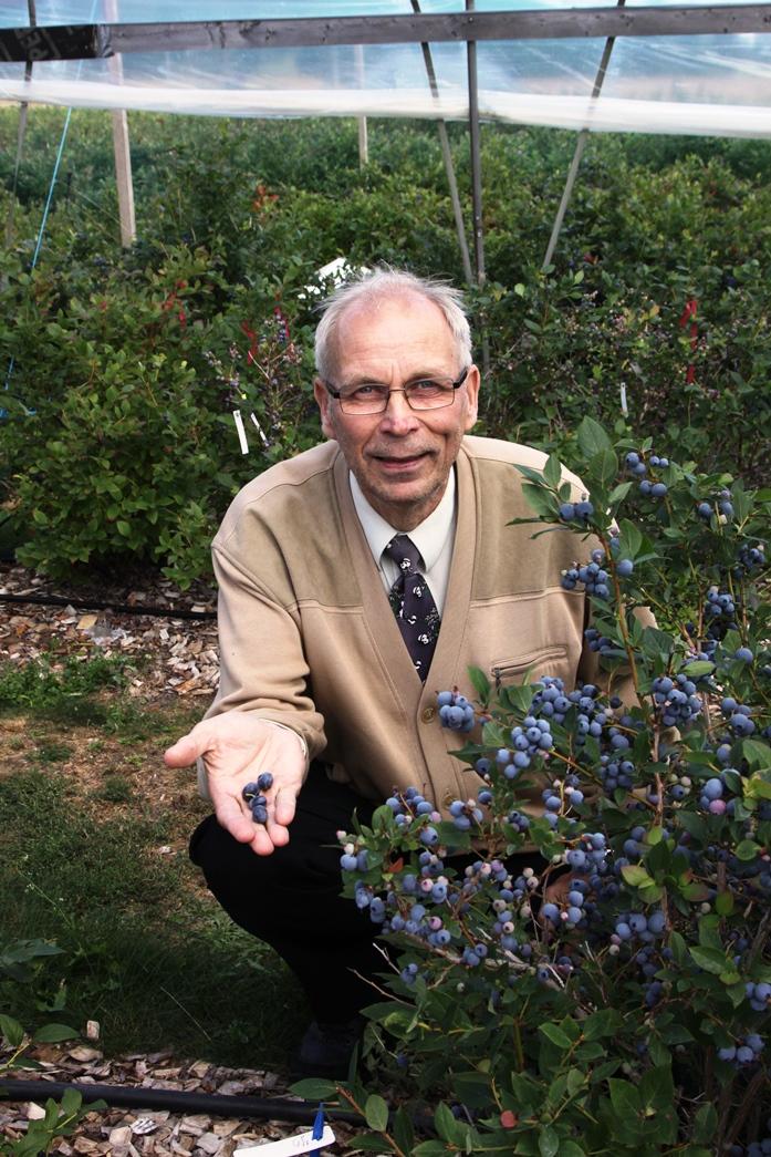 Emeritusprofessori Risto Tahvonen sanoo, että pensasmarjoilla ei ole hätää, sillä ne ovat olleet syvässä lepotilassa tammikuun alun pakkasten aikaan. Kuvassa on Arto-pensasmustikkaa.