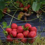 Saadaanko ensi kesänä mansikkaa, kun tammikuun  alun pakkaset ovat saattaneet vioittaa kukka-aiheet?