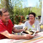 Antti ja Sini Laakson yhteinen harrastus on bataatin viljely.  Tästä bataatista on otettu jo lukuisia versoja taimien kasvatukseen.