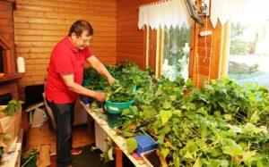 Antti Laakso kasvattaa bataatin versoja, jotka hän istuttaa maahan.