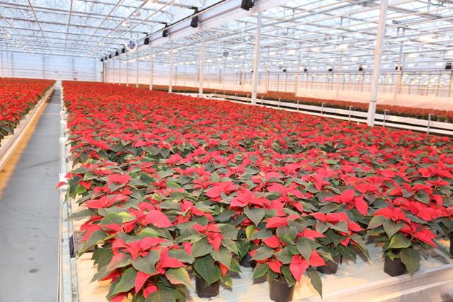 Ansarilta valmistuu 600 000 joulutähteä jouluksi.